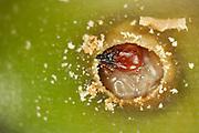 Nur der Kopf der Made des Gewöhnlichen Eichelbohrers (Curculio glandium) ist dunkel gefärbt. Ihr knapp 1 cm langer Körper ist ansonsten weißlich blass.| Acorn weevil (Curculio glandium) |  Acorn weevil (Curculio glandium)