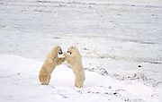 Polar bears sparring  (Ursus maritimus) on frozen tundra along the Hudson Bay Coast<br /> <br /> Churchill<br />