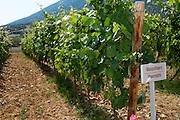 Vines. Mavrodafne Mavrodafni vine variety. Biblia Chora Winery, Kokkinohori, Kavala, Macedonia, Greece