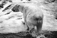 Schweden, SWE, Kolmarden, 2000: Ein Eisbaer (Ursus maritimus) steigt aus dem Wasser, Kolmardens Djurpark. | Sweden, SWE, Kolmarden, 2000: Polar bear, Ursus maritimus, leaving the water, Kolmardens Djurpark. |
