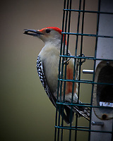 Red-breasted Woodpecker. Image taken with a Nikon D5 camera and 600 mm f/4 VR telephoto lens (ISO 1400, 600 mm, f/4, 1/640 sec).