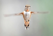 Female rufous hummingbird in flight, Rio Grande Nature Center, Albuquerque, New Mexico.