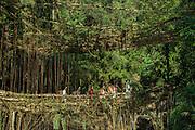 Double decker root bridge<br /> Living bridge or Root bridge (Ficus elastica)<br /> Khasi Tribe<br /> Nongriat, Khasi Hills<br /> Meghalaya, ne India<br /> Range: South China, NE India, Burma
