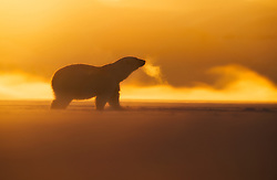 Polar bear (Ursus maritimus) at winter in Svalbard, Norway