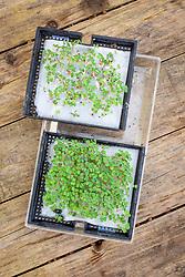 Trays of microgreens