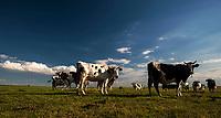 Zdjecie ilustracyjne, 07.2016 N/z krowy na lace na tle niebieskiego nieba fot Michal Kosc / AGENCJA WSCHOD