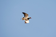 Red-wattled Lapwing - Vanellus indicus