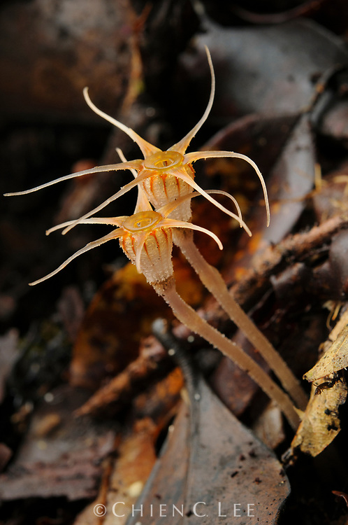 The tiny chlorophyll-free flowers of a Thismia (T. cf. filiformis), a mycoheterotrophic plant. Sarawak, Malaysia (Borneo).