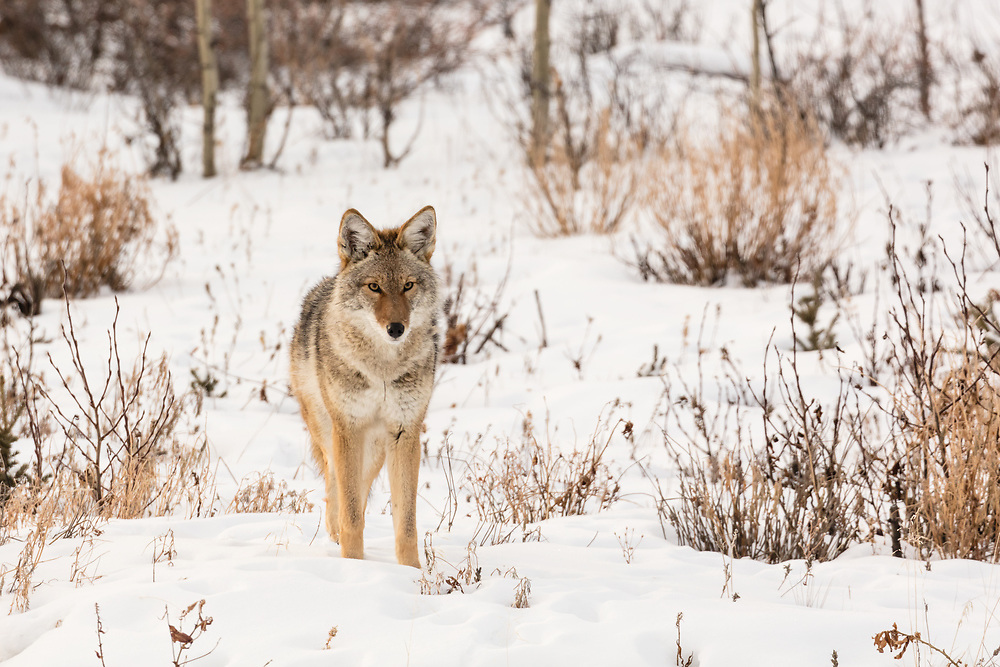 Coyote (Canis latrans) along the Alaska Highway in Kluane National Park in the Yukon Territory. Winter. Morning.
