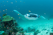 reef manta ray, Manta alfredi (formerly Manta birostris ), being cleaned by moon wrasses, Thalassoma lunare, with cleaner fish inside open mouth, Sunshine Thila, Lankan, North Male Atoll, Maldives ( Indian Ocean )
