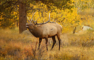 A bull Elk bugling during the rut in the beautiful colors of Autumn