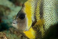 Cortez Angelfish (Pomacanthus zonipectus)<br /><br />Rancheria Island<br />Coiba National Park<br />Panama<br /><br />Iglesias dive site