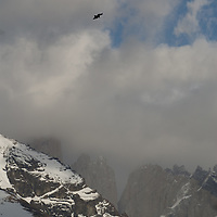 An Andean Condor (Vultur gryphus)  soars in clouds above the Towers of Paine in Torres del Paine National Park in Patagonia, Chile.