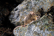 A wild Pinon mouse - (Peromyscus truei) photographed at night with an automated camera. Pinon mice have very specific habitat requirements - rocks and pinyon or juniper trees. Central Oregon is the northern limit of their range. Clarno unit of the John Day Fossil Beds National Monument, Central Oregon.