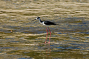 Black -necked Stilt (Himantopus mexicanus), Los Angeles River. Glendale Narrows. Los Feliz, Los Angeles.