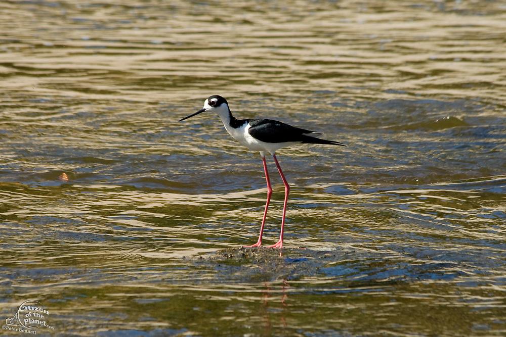 Black -necked Stilt (Himantopus mexicanus), Los Angeles River. Glendale Narrows. Los Feliz, Los Angeles.