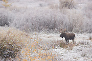 Wyoming bull moose in the snow during the fall rut