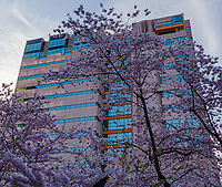 A moment of beautiful cherry blossoms with a building named after a wonderful woman Rachel Carson who accomplished so much to protect so many. The Rachel Carson State Office building in Harrisburg is the H.Q. of the Pennsylvania D.E.P. It's also home to Peregrine falcons on the 15th floor. Iso 100 24mm at F/16 1/100 sec on a Benbo 2 tripod.