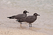 A pair of lava gulls (larus fuliginosis), an endemic species of the Galapagos Islands with fewer than 400 pairs of adults. It is found nowhere else. Genovesa Island, Galapagos Archipelago - Ecuador.