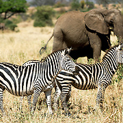 Zebras stand watchfully in the foreground, with elephants in the background at Tarangire National Park in northern Tanzania not far from Ngorongoro Crater and the Serengeti.