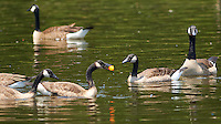 Juvenile Canadian Geese Playing Water Polo with a Fishing Float. Summer Wildlife at the Sourland Mountain Preserve in New Jersey. Image taken with a Nikon D800 and 300 mm f/2.8 VR lens (ISO 100, 300 mm, f/2.8, 1/800 sec).