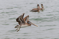 Brown Pelicans (Pelecanus occidentalis) Olympic Coast Washington