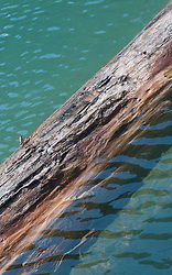 Fallen Tree in Diablo Lake, North Cascades National Park, Washington, US