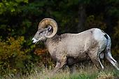 Bighorn Sheep Hunting Stock Photos