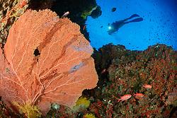Subergorgia sp., Korallenriff mit Riesen Gorgonienfaecher und Taucher, Coralreef with Giant Seafan, Fancoral and scuba diver, Malediven, Indischer Ozean, Baa Atoll, Maldives, Indian Ocean