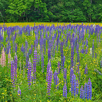 New England photography of lupine flowers in Sugar Hill of the New Hampshire White Mountains.<br /> <br /> Beautiful New Hampshire fine art photography of blooming lupine wildflowers in Sugar Hill are available as museum quality photography prints, canvas prints, acrylic prints, wood prints or metal prints. Fine art prints may be framed and matted to the individual liking and interior design decorating needs:<br /> <br /> https://juergen-roth.pixels.com/featured/lupine-wildflowers-field-in-sugar-hill-new-hampshire-juergen-roth.html<br /> <br /> Good light and happy photo making!<br /> <br /> My best,<br /> <br /> Juergen