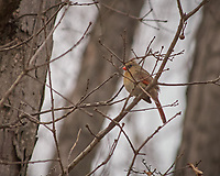 Female Northern Cardinal in a tree. Image taken with a Nikon D2xs camera and 80-400 mm VR lens (ISO 400, 400 mm, f/5.6, 1/640 sec).