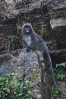 Phayre's leaf monkey or Phayres langur, Trachypithecus phayrei, sitting and posing on a rock at He Xin Chang Forest reserve, Dehong Prefecture, Yunnan Province, China