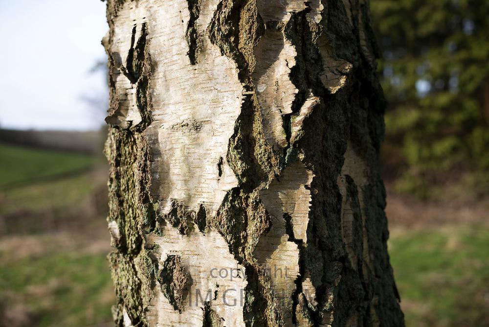 Trunk of Silver Birch tree, Betula pendula, UK