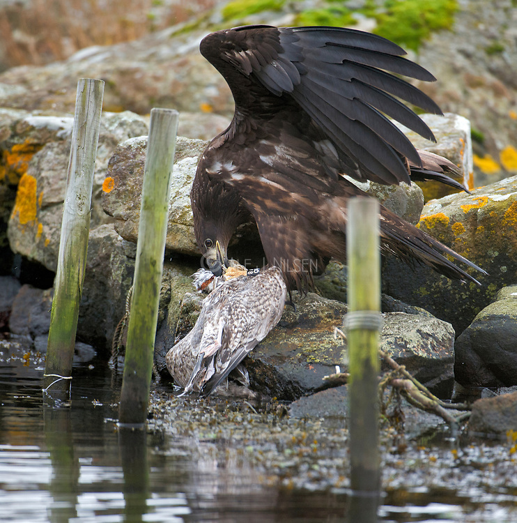 An adult White-tailed Sea Eagle (Haliaeetus albicilla) feeding on a caught seagull. Photo from Hidra, south-western Norway in October.