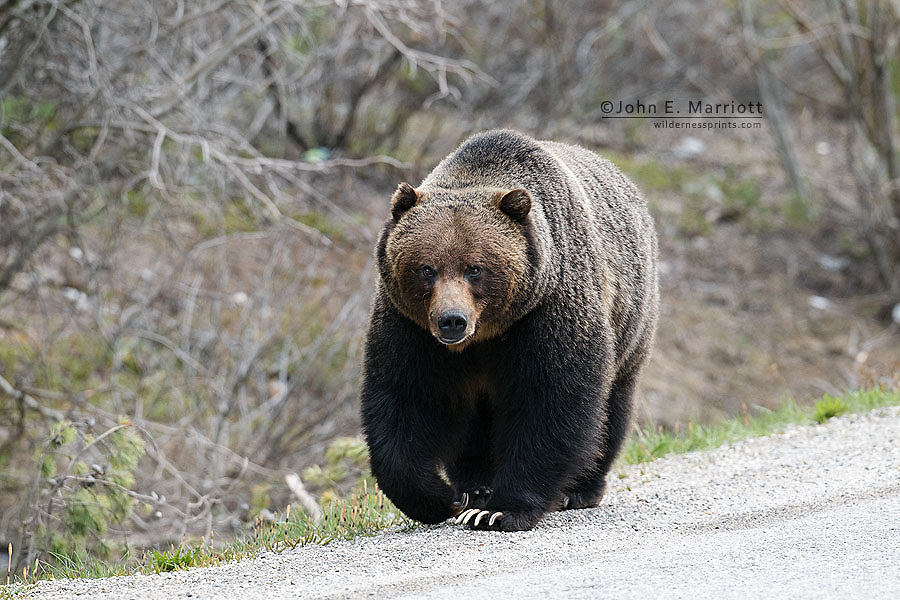Large male grizzly bear in Banff National Park, Alberta, Canada