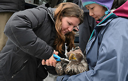 """Rachel Wheat, a graduate student at the University of California Santa Cruz (left), seals the rivets of a lightweight harness to which a solar-powered GPS satellite transmitter (also known as a PTT - platform transmitter terminal) is attached to the back of a bald eagle (Haliaeetus leucocephalus) captured in the Alaska Chilkat Bald Eagle Preserve. Assisting Wheat by holding the eagle is Yiwei Wang, graduate student, University of California Santa Cruz (right). A handmade leather hood keeps the eagle calm during the procedure. Wheat is conducting a bald eagle migration study of eagles that visit the Chilkat River for her doctoral dissertation. She hopes to learn how closely eagles track salmon availability across time and space. The latest tracking location data of this bald eagle known as """"2Z"""" can be found here: http://www.ecologyalaska.com/eagle-tracker/2z/ . During late fall, bald eagles congregate along the Chilkat River to feed on salmon. This gathering of bald eagles in the Alaska Chilkat Bald Eagle Preserve is believed to be one of the largest gatherings of bald eagles in the world."""