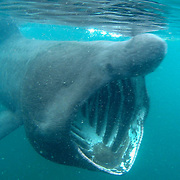 The west coast of Scotland is one of the best places in the world, along with my home region of the SW of England, for seeing basking sharks, the second largest fish in the world. They can grow up to 10m (33ft) long. They are an open water shark, but move closer to shore in summer to feed on the plankton bloom. They are usually solitary, but occasionally gather in aggregations of 100 or more where there are large concentrations of plankton, usually where there are tidal fronts where different water masses meet. They are filter feeders, and in 1 hour they can filter 1.5 million litres (330,000 gallons) of water through their gills. They are highly migratory, but long-distance tracking of individuals only began recently, and it is still unknown whether they migrate between lower and higher latitudes, or between deep and shallow water. Their livers contain a large proportion of oil typical of deepwater sharks, which may indicate that they spend some time in deep water. Very little is known about their breeding. They probably mature late and reproduce slowly, making them particularly vulnerable to overfishing, especially as fisheries catch more females than males. They were once fished commercially on a small scale around Scotland for their huge livers, which contain oils formerly used in various industries, with a peak recorded catch of 250 sharks in 1947. But in response to dwindling numbers the basking shark has been fully protected since 1998. <br />