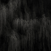 Detail of a large willow outside our house.