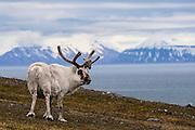 Portrait of a male Svalbard reindeer (Rangifer tarandus platyrhynchus) in an Arctic landscape, sideview  Svalbard, Norway