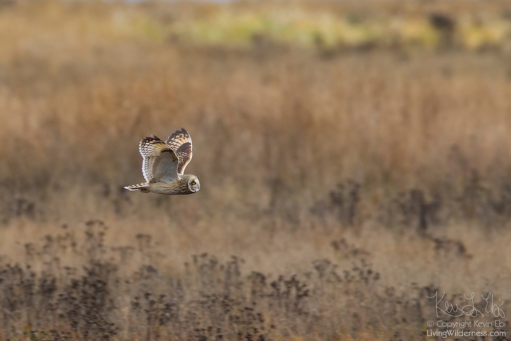 A Short-Eared Owl (Asio flammeus) hunts for food by flying over a marsh near Boundary Bay in British Columbia, Canada. The Short-Eared Owl has one of the widest distributions of any bird; it is found on all continents except Australia and Antarctica.
