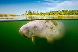 Florida manatee, Trichechus manatus latirostris, calf and marshland, over-under picture, endangered subspecies of the West Indian manatee, Kings Bay, Crystal River, Florida, USA, Gulf of Mexico, Caribbean Sea, Atlantic Ocean, digital composite