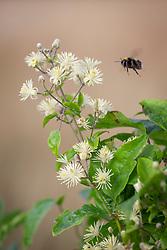 Bee landing on Travellers Joy. Clematis vitalba
