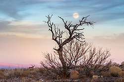 Mule deer buck with tree and moon at dusk, Ladder Ranch, west of Truth or Consequences, New Mexico, USA.