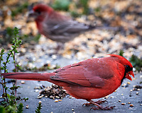 Male Northern Cardinal. Image taken with a Nikon D5 camera and 600 mm f/4 VR lens (ISO 1600, 600 mm, f/5.6, 1/250 sec).