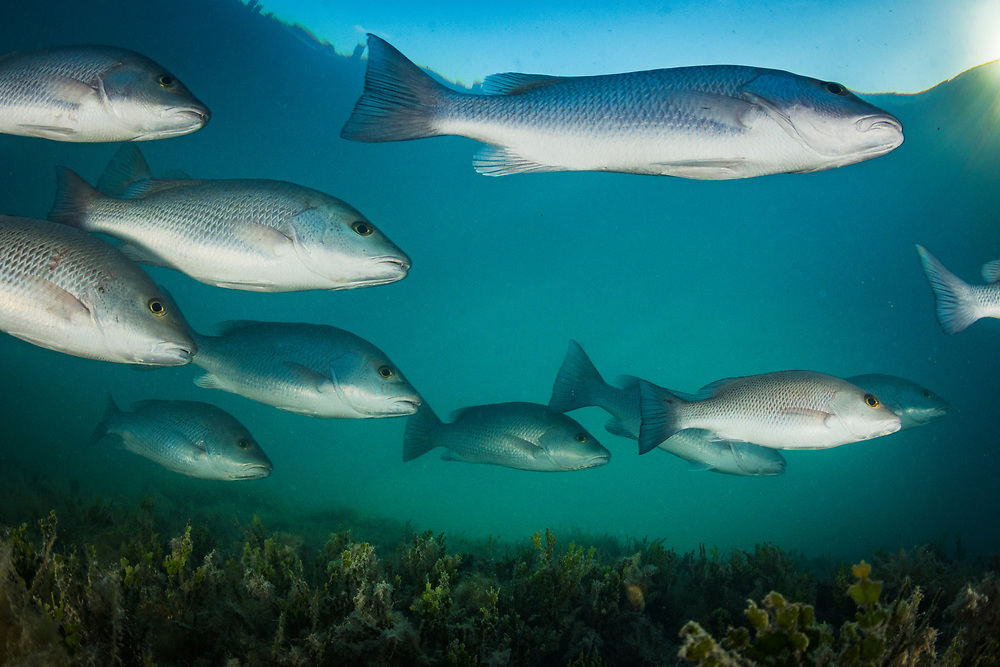 A school of mangrove snapper or gray snapper (Lutjanus griseus) hunt in the early morning light. Image made off Eleuthera, Bahamas.