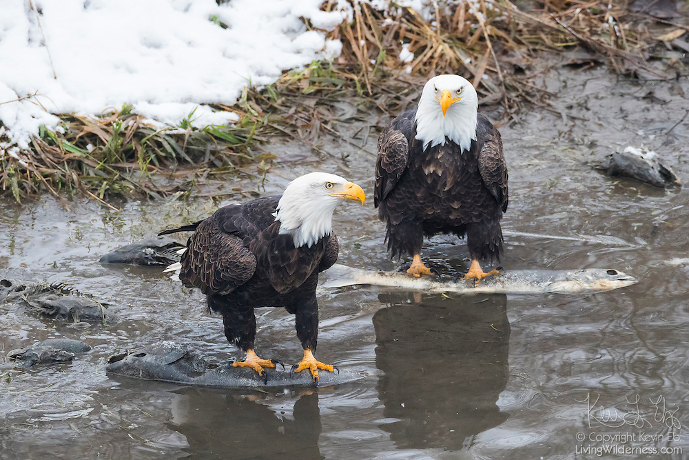Two adult bald eagles (Haliaeetus leucocephalus) feed on salmon carcasses in the Nooksack River near Welcome, Washington. Hundreds of bald eagles winter in the area to feast on spawned-out salmon.)