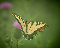 Eastern Tiger Swallowtail butterfly. Image taken with a Nikon D5 camera and 200-500 mm f/5.6 VR lens