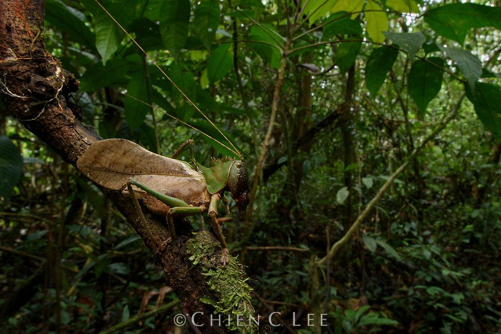 Dragon Head Katydid (Lesina blanchardi), male. Mulu National Park, Sarawak, Malaysia (Borneo).