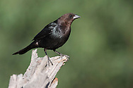 Brown-headed Cowbird - Molothrus ater - Adult male