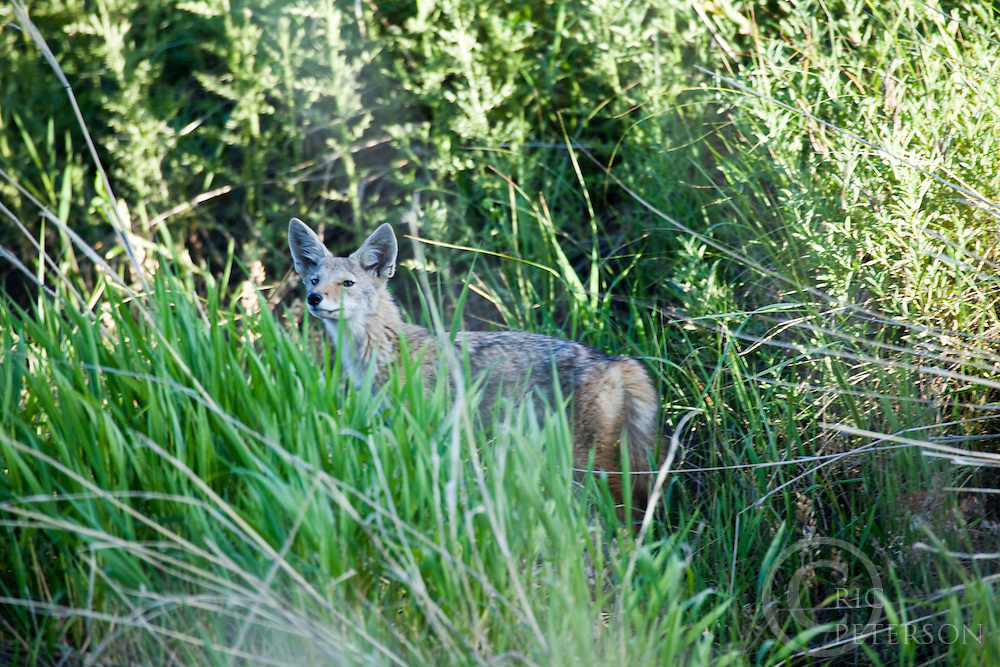 lone coyote in grass